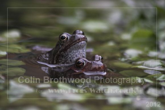 Images of the Common Frog 2012