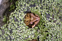 Images of the Common Frog 2007
